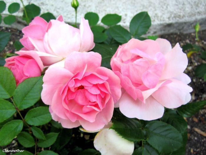 A Venice Rose
